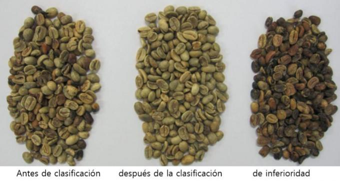 arabica coffee sorting